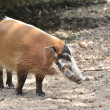 Res river hog — Stock Photo