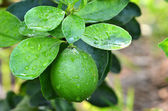 Lime on a tree — Stock Photo