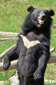 Asiatic black bear — Stockfoto