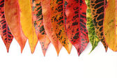 Croton leaves — Stock Photo