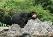 Malayan sunbear — Stock Photo