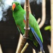 Beautiful green eclectus parrot bird — Stock Photo