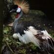 Crowned Crane or African Crowned Crane  — Stock Photo