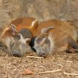 Red river hog — Stock Photo #33392869