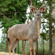 Greater kudu — Stock Photo #33394431