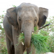 Asielephant — Stock Photo #33394453