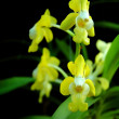 Vanda benbonii — Stock Photo