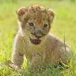 Baby lion — Stock Photo