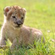 Stock Photo: Baby lion