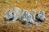 White bengal tiger cub — Foto Stock