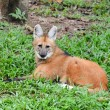 Maned wolf — Stock Photo