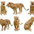 Lion isolated — Stock Photo #35408649