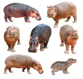 Hippopotamus isolated — Stock Photo