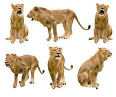 Lion isolated — Stock Photo