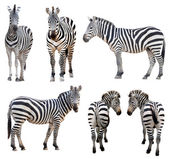 Zebra isolated — Stock Photo