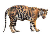 Bengal tiger isolated — Stock Photo