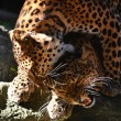 Stock Photo: Leopard breeding