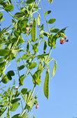 Sugar pea vegetable garden — Stock Photo