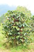 Fresh coffee bean on tree — Stock Photo