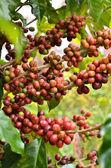 Świeże ziarna kawy na drzewo — Zdjęcie stockowe