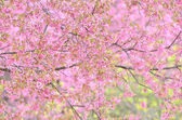 Fleur de cerise sauvage himalayen — Photo