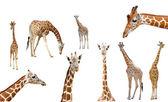Giraffe isolated — Stock Photo