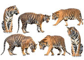 Bengal tiger isolated collection — Stock Photo