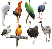 Collection of bird isolated — Stock Photo