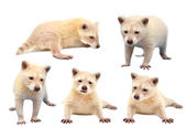 Collection of baby albino raccoon isolated — Stock Photo