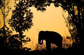 Asia elephant in the forest — Stock Photo