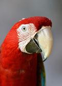 Scarlet macaw — Stock Photo