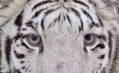 Vita bengal tiger ögonархітектурні деталі Старий собор Святого Віта — Stockfoto
