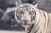 White bengal tiger face — Stock fotografie