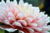 Fiore dalia — Foto Stock