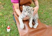 Zookeeper feeding baby white tiger — Foto Stock