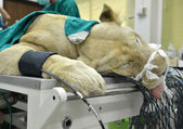 Veterinarian performing an operation on a lion — Stock Photo
