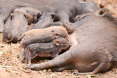 Wild boar feeding their baby — Stockfoto
