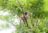 Puma climbing on tree — Stock Photo