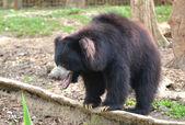 Sloth bear  — Stock Photo