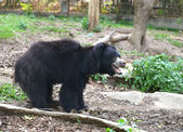 Sloth bear — Stock Photo