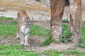 Mountain lion in captive environment — Stock Photo