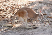 Kangaroo with joey — Stock Photo