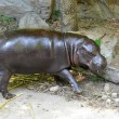 Pygmy hippo — Stock Photo #50723363