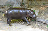 Pygmy hippo — Stock Photo