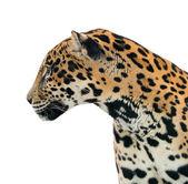 Jaguar ( Panthera onca ) isolated — Stock Photo