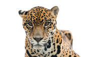 Jaguar ( Panthera onca ) isolated — Stock Photo