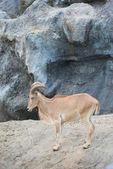 Female Barbary sheep (Ammotragus lervia) — Stock Photo