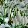 Snowdrops! — Stock Photo