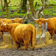 Highland Cattle. — Stock Photo