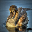 Young Cygnet! — Stock Photo